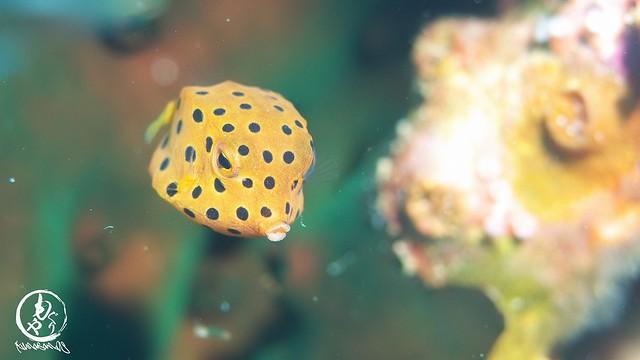 ミナミハコフグ幼魚ちゃん♪