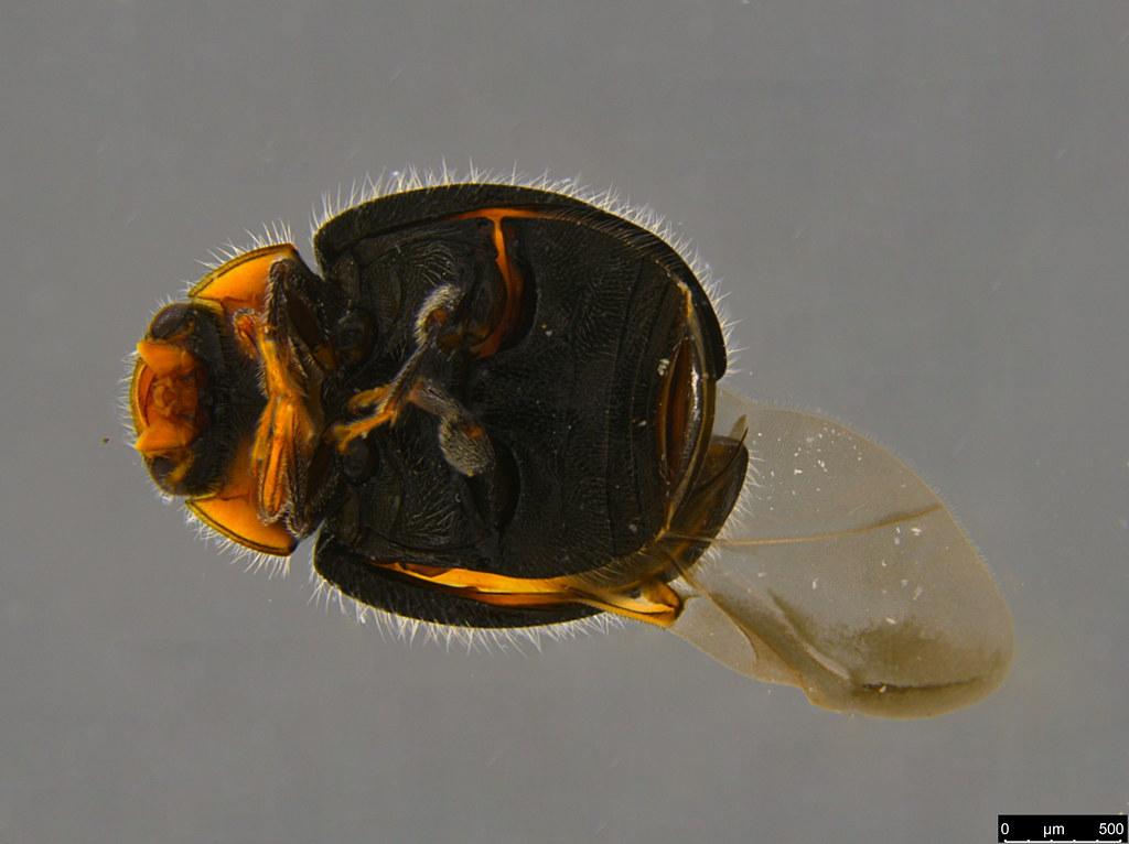 3b - Diomus notescens (Blackburn, 1889)