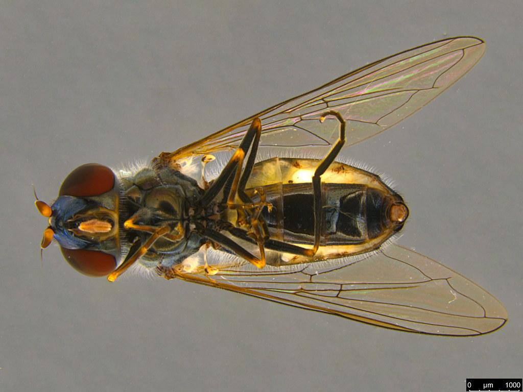 5b - Melangyna viridiceps (Macquart, 1847)