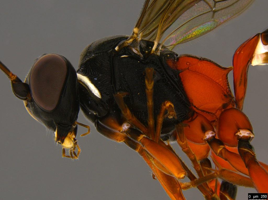 12b - Anacis sp.