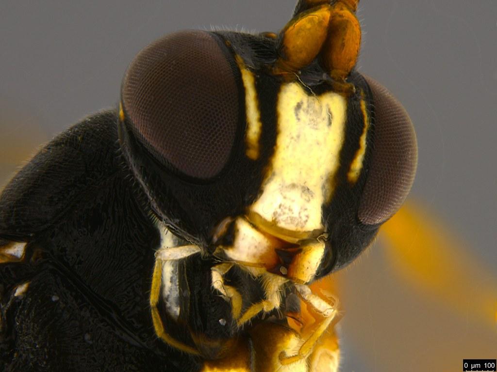 15c - Ichneumonidae sp.
