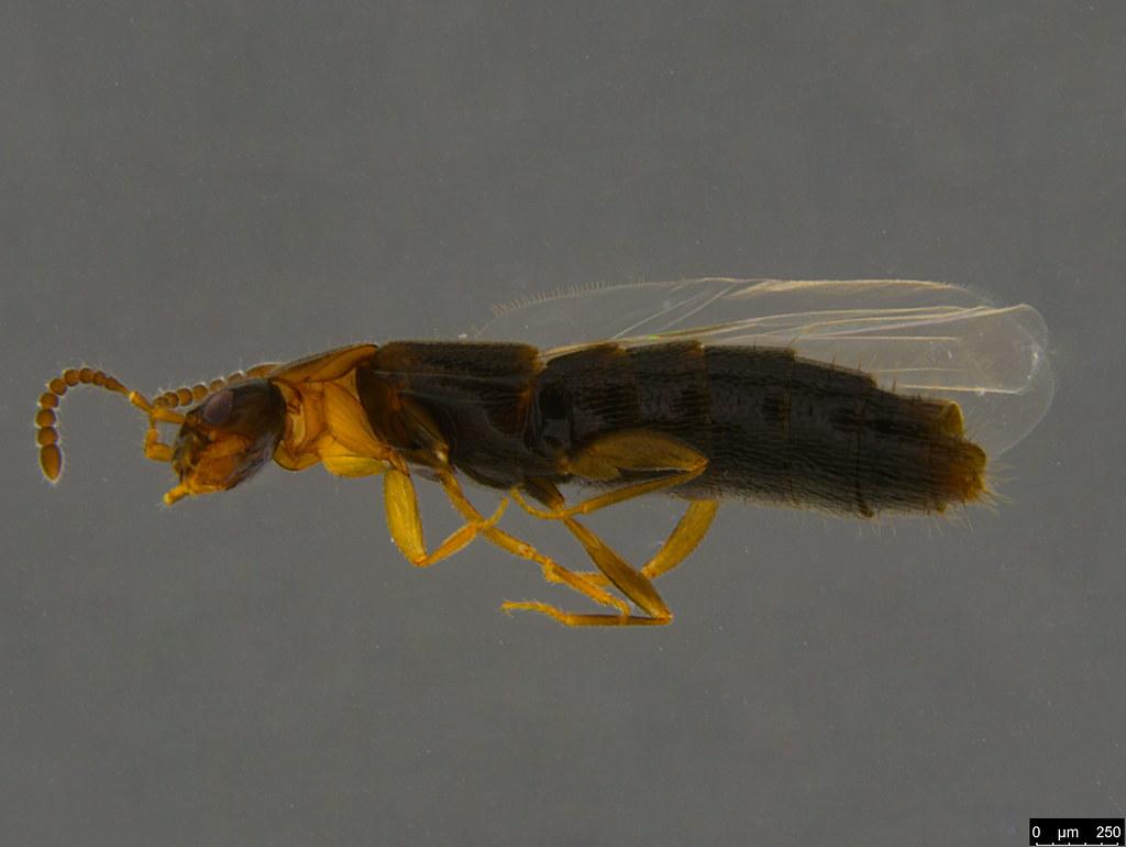 2b - Staphylinidae sp.