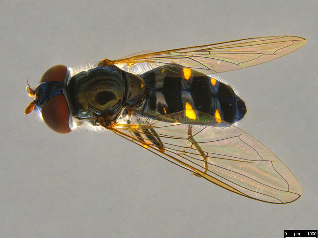 5a - Melangyna viridiceps (Macquart, 1847)