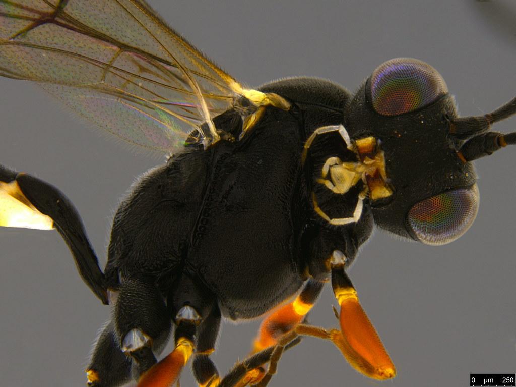 14d - Ichneumonidae sp.