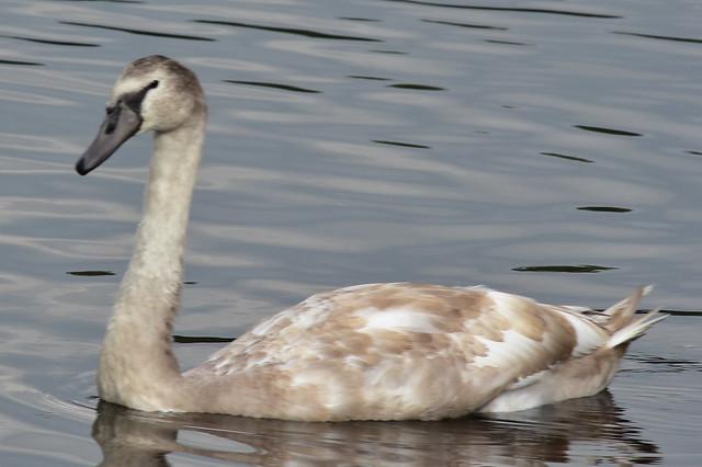 DSC_2418 Mute Swan Cygnet @ Connetquot River