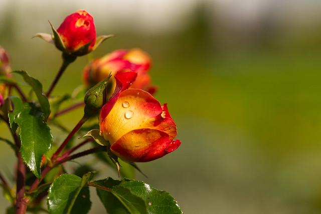 Autumnal rose
