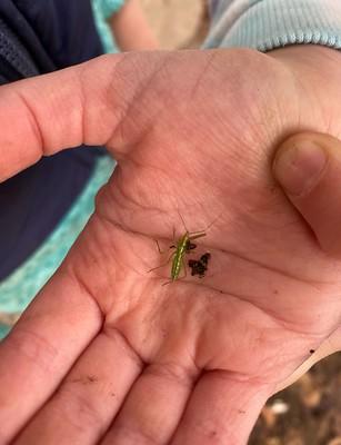 an assassin bug nymph