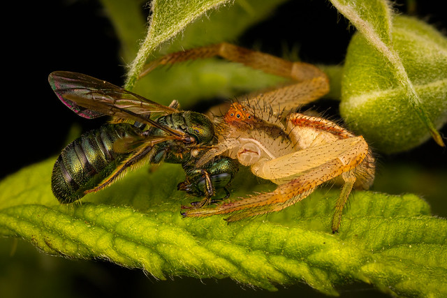 Crab Spider Eating Sweat Bee-3