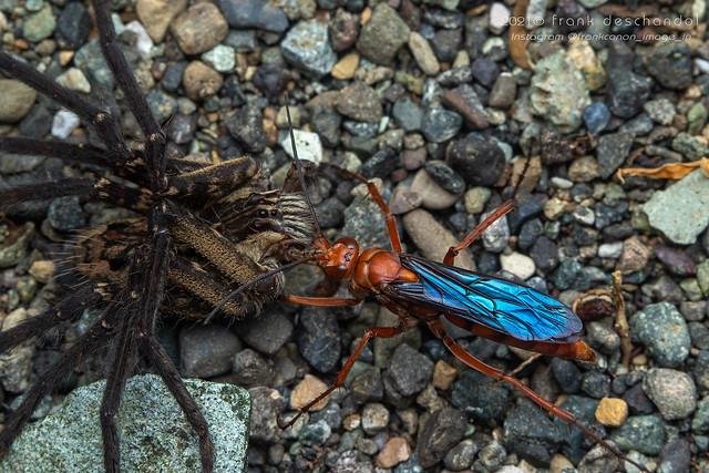 Tachypompilus sp. & Cupiennius coccineus (Manzanillo) _7D_9904
