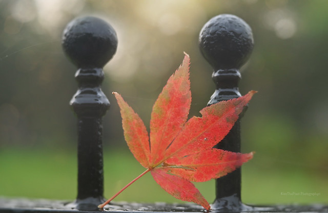 Maple Leaf and French Cooking...