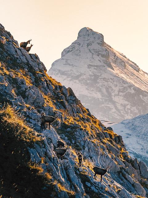 Gamsherde im Karwendel