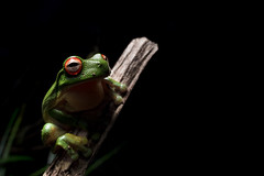 Red-eyed tree frog  (由  baker.cameron43