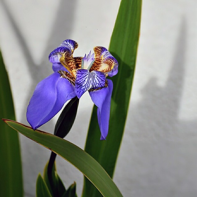 an iris confers with it's shadow