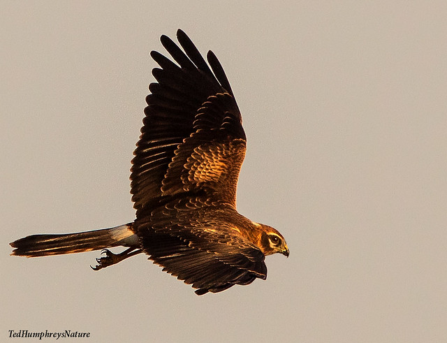 Pallid Harrier migrating south