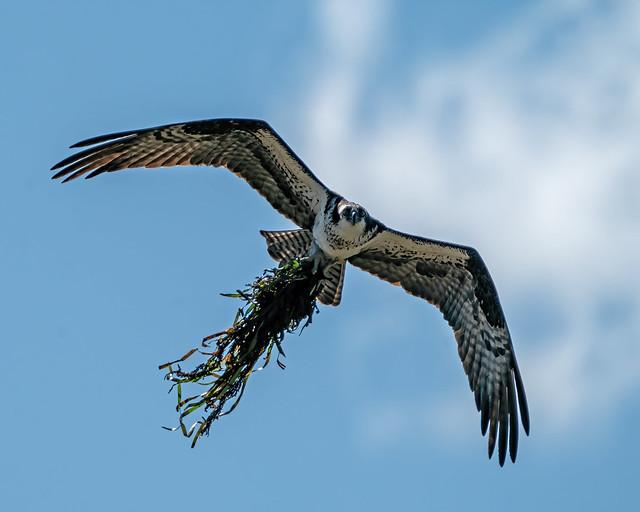 Osprey With Nest Grass