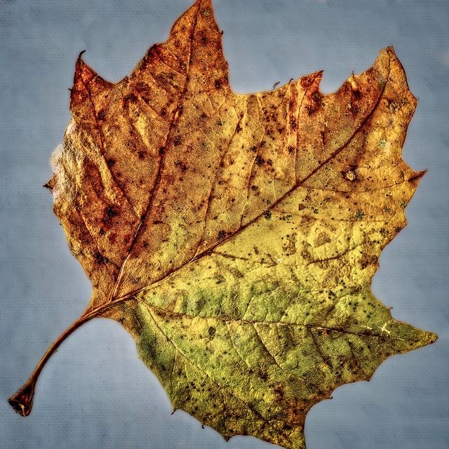A single back lit leaf