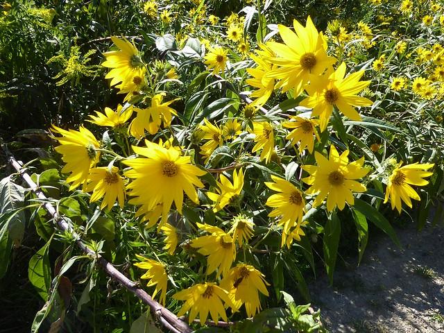 Glen Ellyn, IL, Churchill Woods Forest Preserve, Yellow Flowers along the Trail