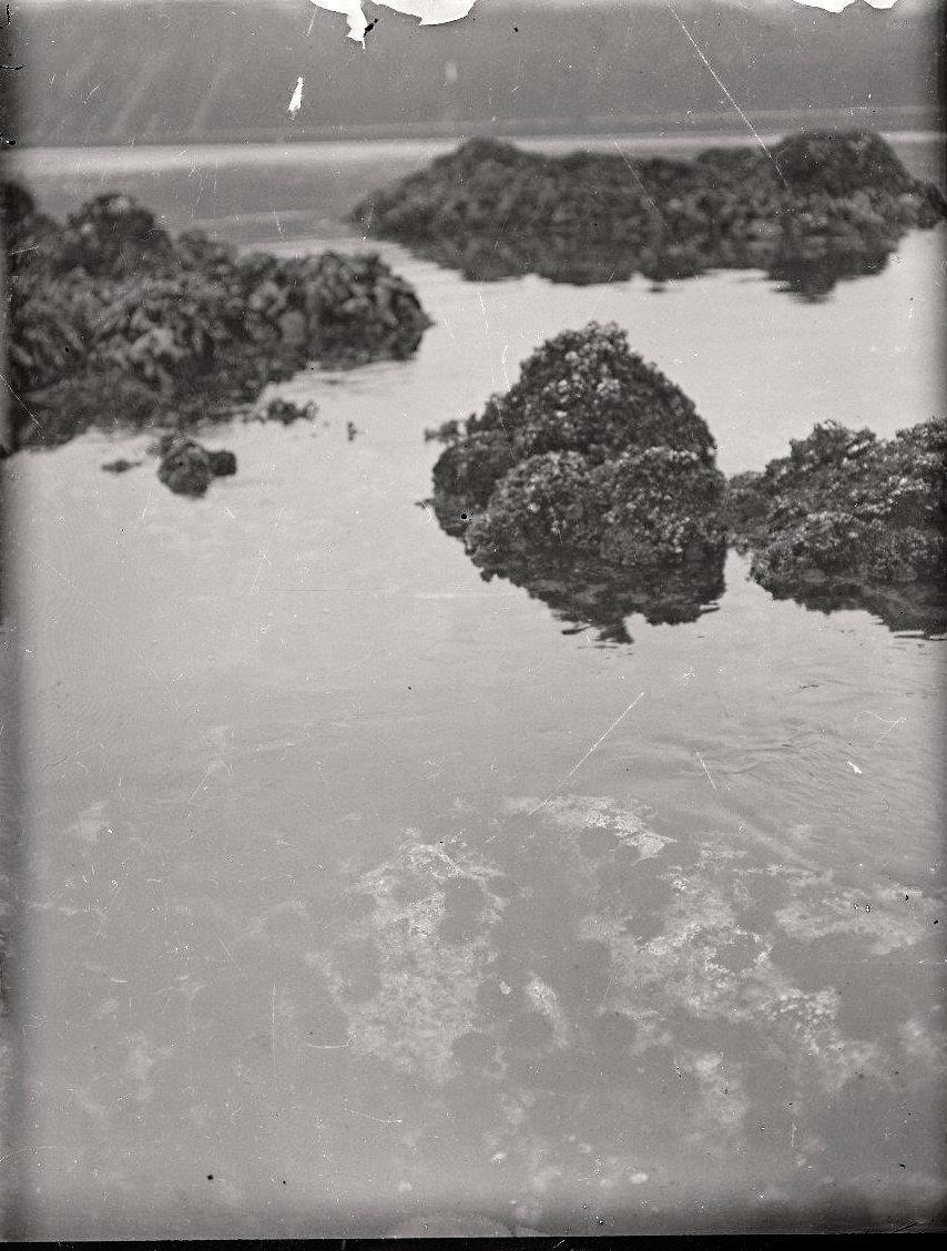 1909. 3 августа. Колония морских ежей под водой.  Атту остров.