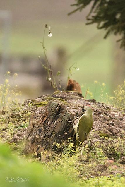 Eurasian Green Woodpecker, žluna zelení, CZE, 2021