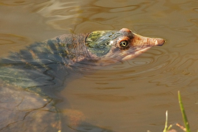 3S5X8759 Soft Shell Turtle