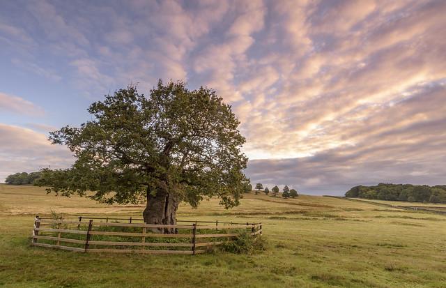 Tree at Bradgate