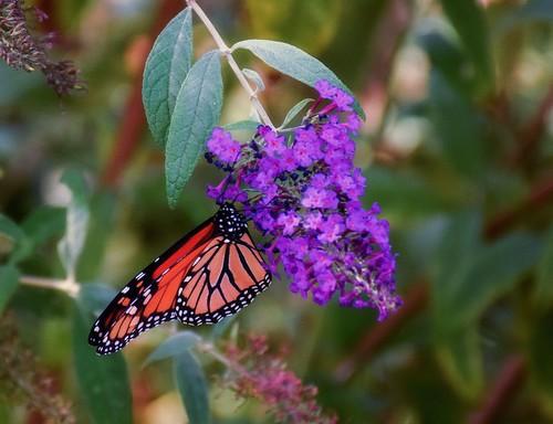 Botanic garden 06 monarch