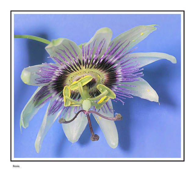Passion flower and rain droplets