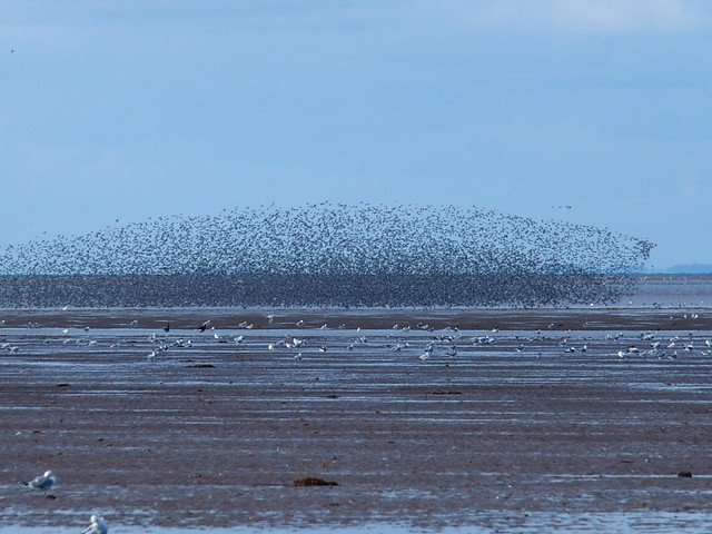 A flock of starling gather over the Wash