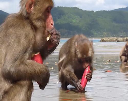 monkey_cleaning_sweet_potatoes