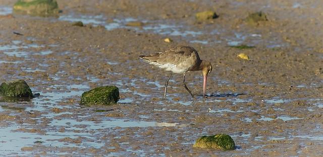 Godwit on the tidal Stour Essex...