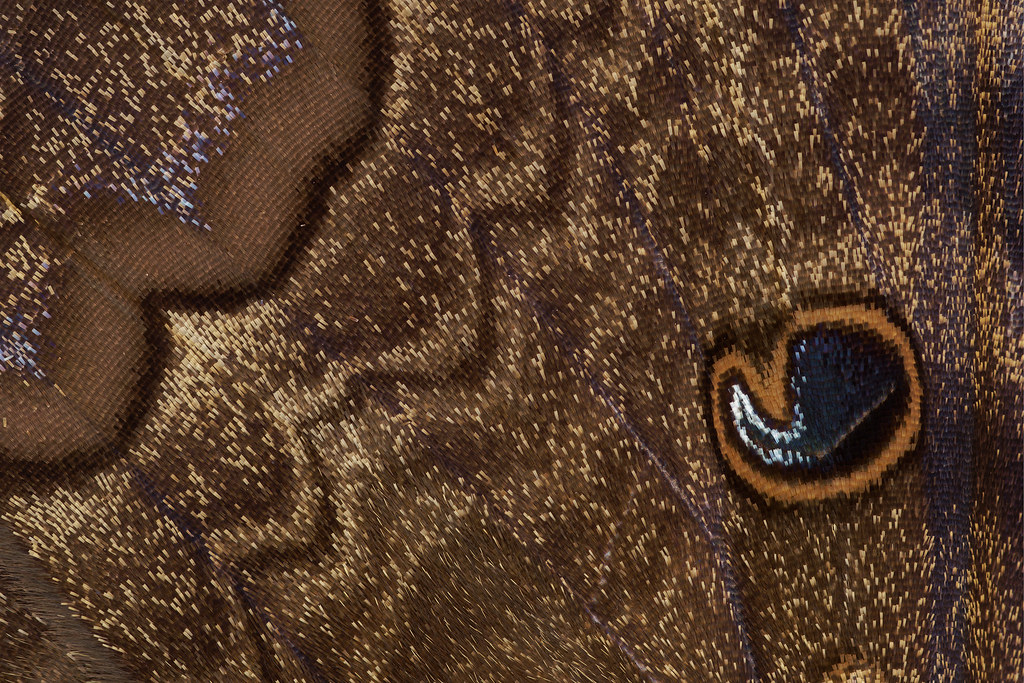 A macro shot of the pattern in the wing of a male black witch moth in Scottsdale, Arizona on September 5, 2021. Originals: _RAC8911.arw to _RAC8913.arw