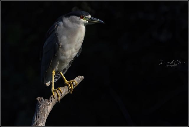 Garza Bruja, Black-crowned Night-heron (Nycticorax nycticorax)