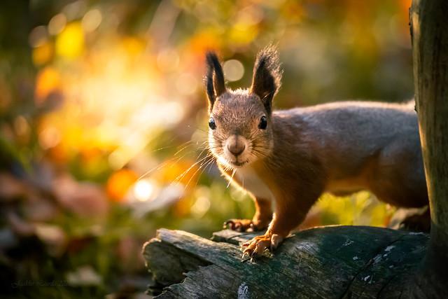 Squirrel in autumn morning