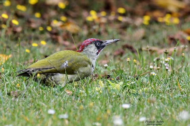 Pic vert (Picus veridis) Green Woodpecker