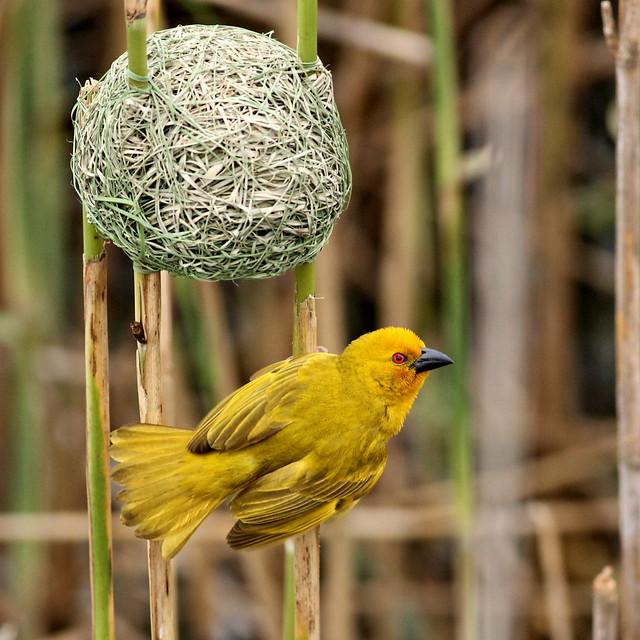 Eastern golden weaver
