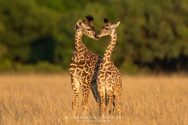 Girafe - Giraffe - Giraffa camelopardalis