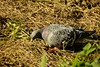After the harvest, the pigeon collects the remains on the edge of the field - Tarbek - Schleswig-Holstein - Germany - October 10, 2021