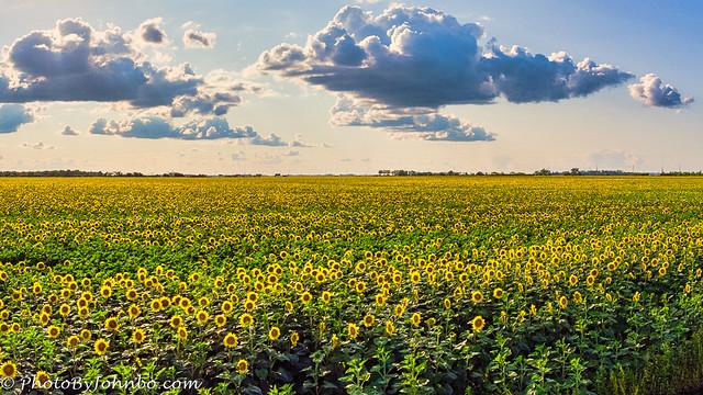 Sunflower Field-1