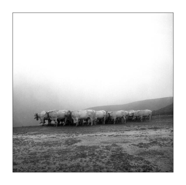 cows in (g)rain