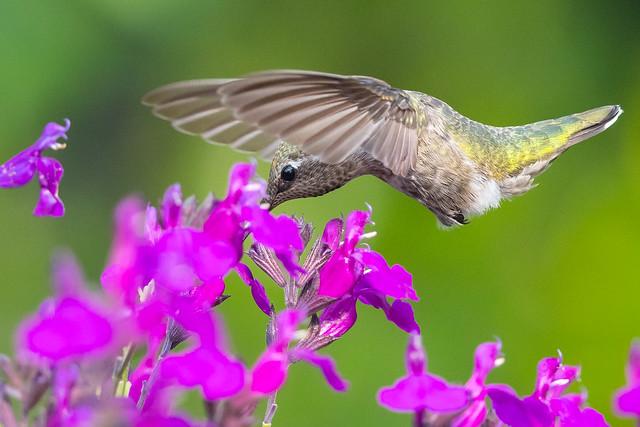 Hummingbird (X16_9450-1)