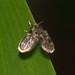 Moth fly (Psychodidae)