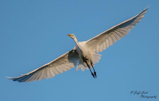 DS8566  Great White Egret..