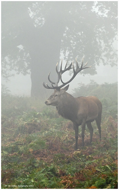 Stag in misty morning.