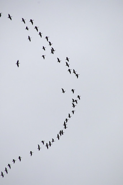 Geese in formation at Linlithgow, Scotland