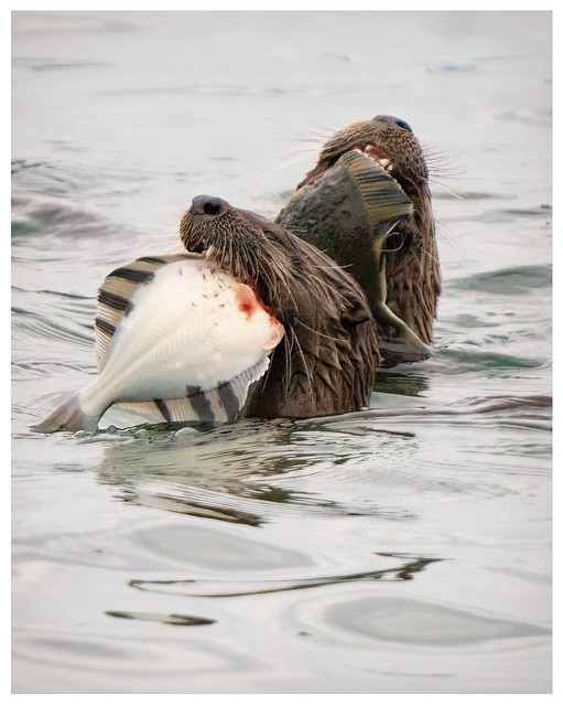river otters and their catch