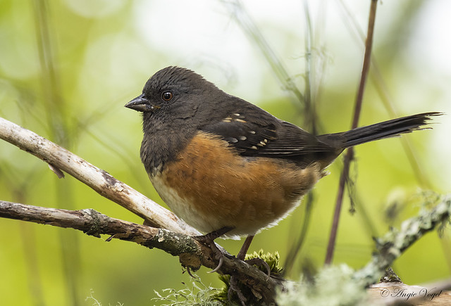 Western Spotted Towhee
