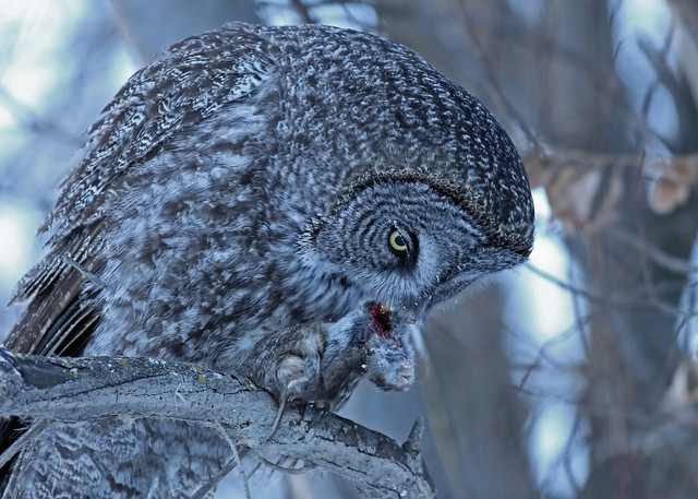 Great Gray Owl...#106