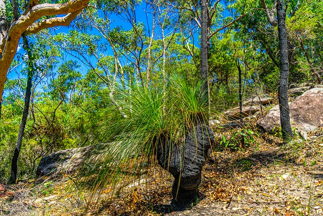 'Forked' Grass Tree - Warrah Lookout, Patonga, NSW