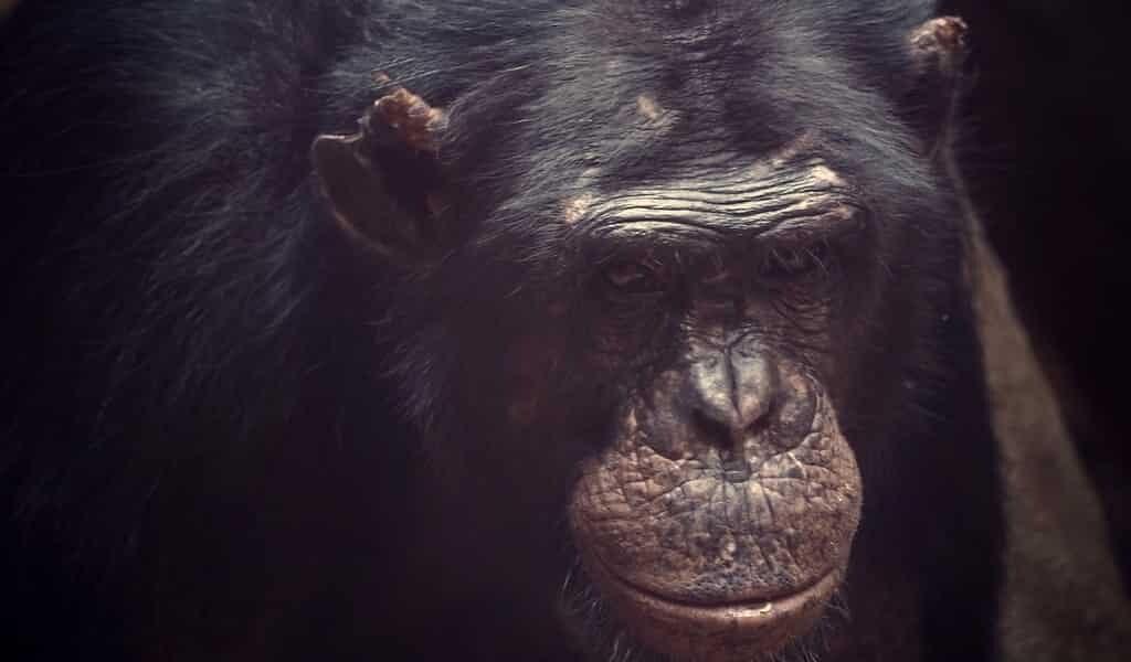 Les ancêtres des primates ont quitté les arbres pour survivre à un astéroïde