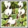 AUTUMN FLOWERS ~ WHITE CYCLAMEN